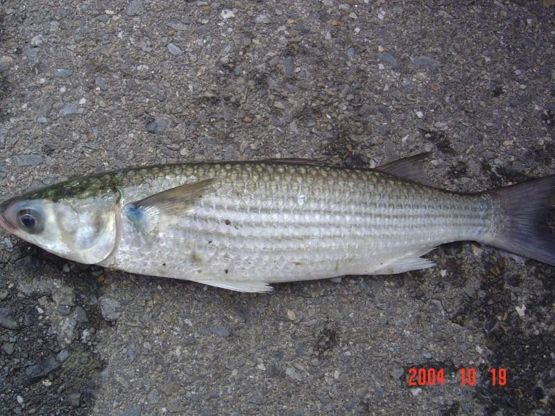 淡水鱼的种类图片
